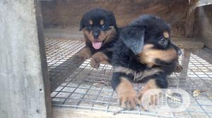 Young Female Purebred Rottweiler   Dogs & Puppies for sale in Oyo State, Ibadan