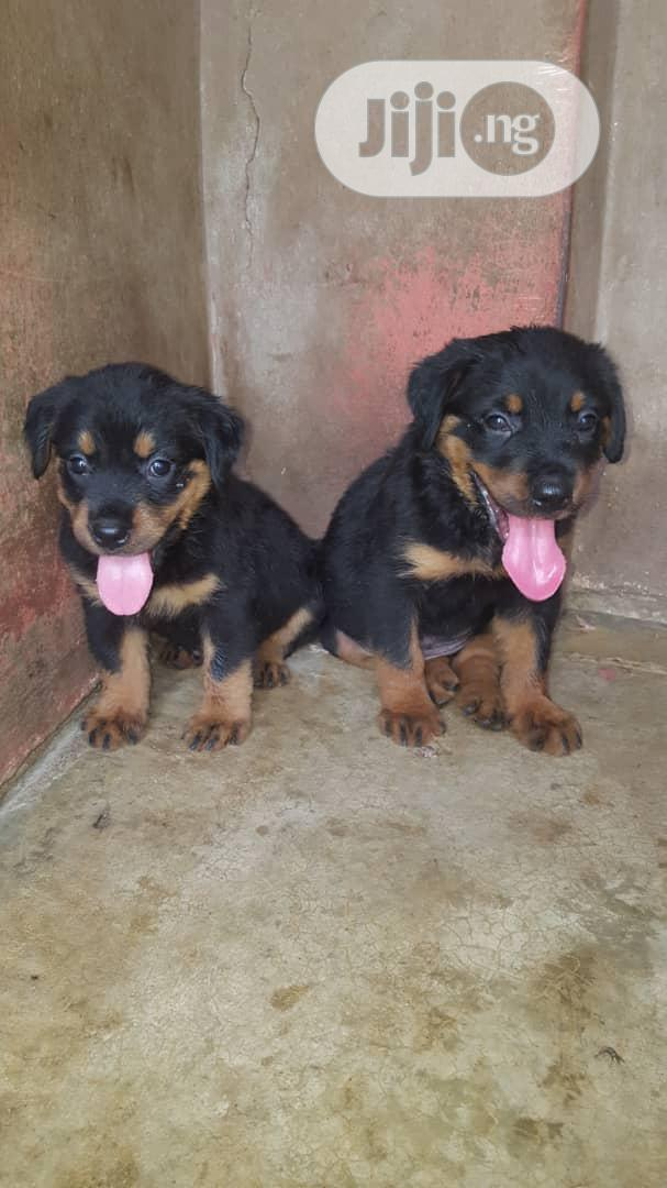 Young Female Purebred Rottweiler | Dogs & Puppies for sale in Ibadan, Oyo State, Nigeria