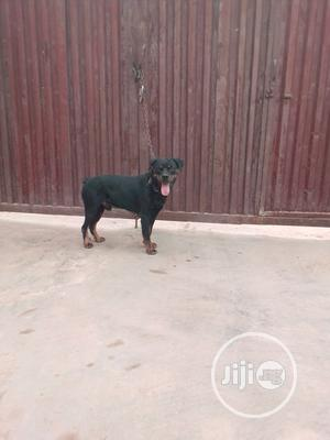 Adult Male Purebred Rottweiler   Dogs & Puppies for sale in Oyo State, Ibadan