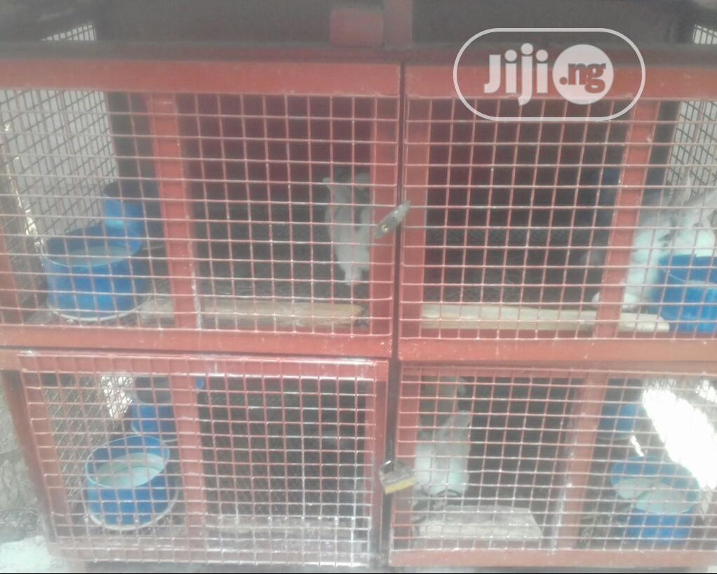 Mature Rabbits For Sale
