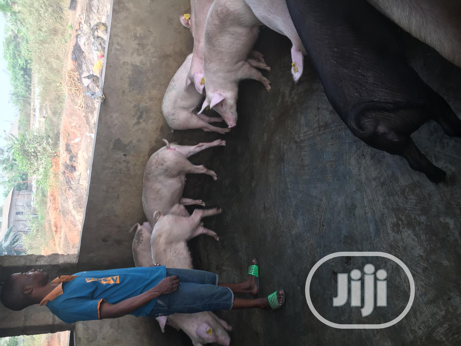 Available Different Kinds Of Pigs Here In Alpha Farms | Livestock & Poultry for sale in Ikorodu, Lagos State, Nigeria