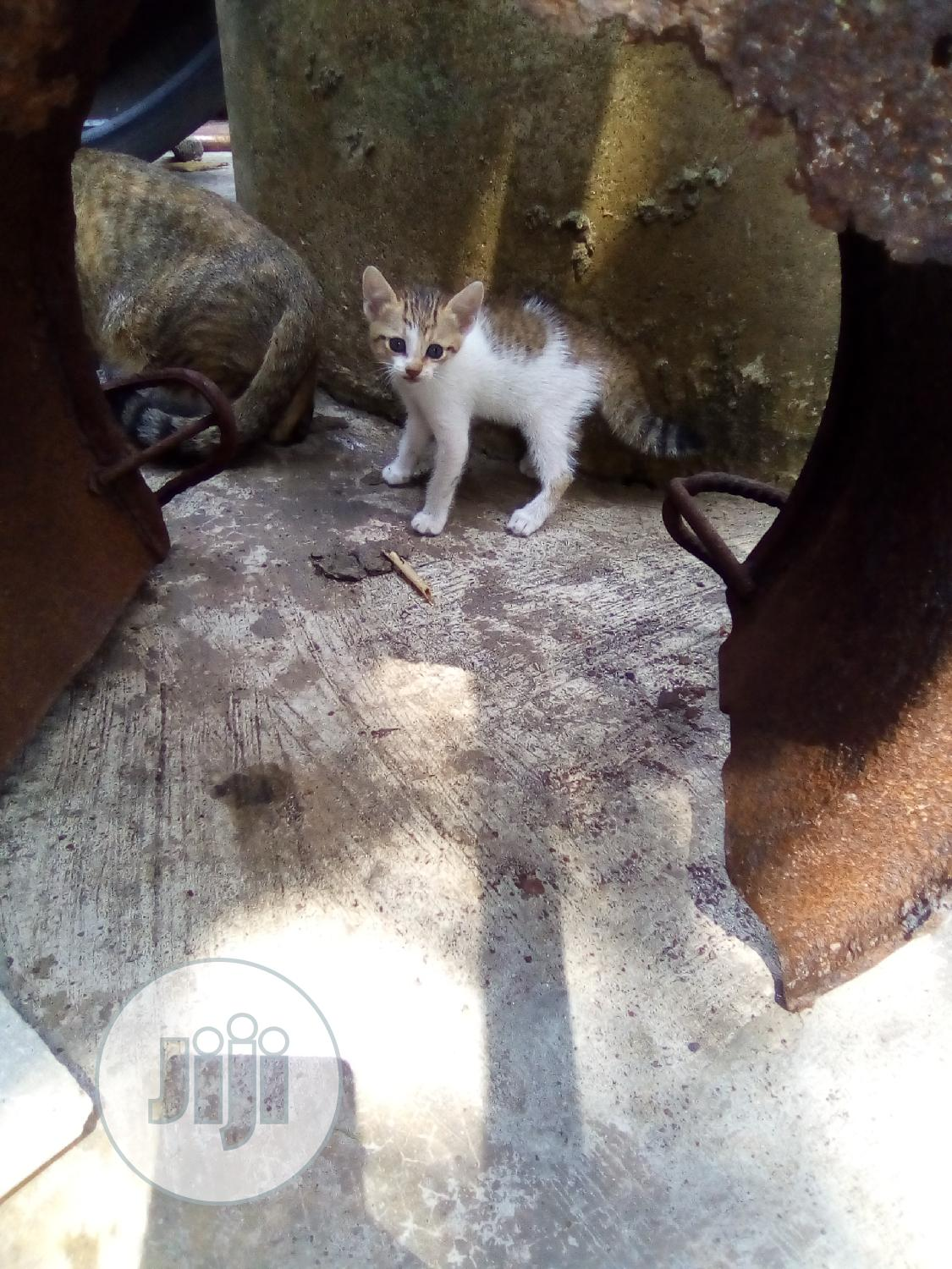 Baby Male Mixed Breed Exotic | Cats & Kittens for sale in Amuwo-Odofin, Lagos State, Nigeria