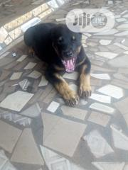 Baby Male Purebred Rottweiler | Dogs & Puppies for sale in Anambra State, Njikoka