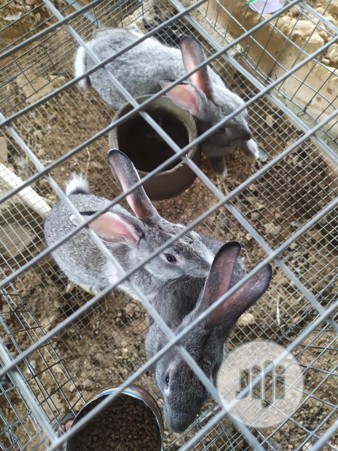 Archive: Chinchilla Weaners And Grower