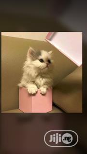 Young Female Purebred Persian   Cats & Kittens for sale in Abuja (FCT) State, Central Business Dis