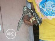 Baby Hawks (Eyas) | Birds for sale in Lagos State, Ajah