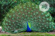 Peacock (Birds) | Birds for sale in Oyo State, Ibadan