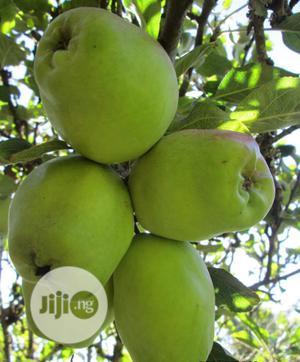Wambugu Apple Seedlings | Feeds, Supplements & Seeds for sale in Ogun State, Ado-Odo/Ota