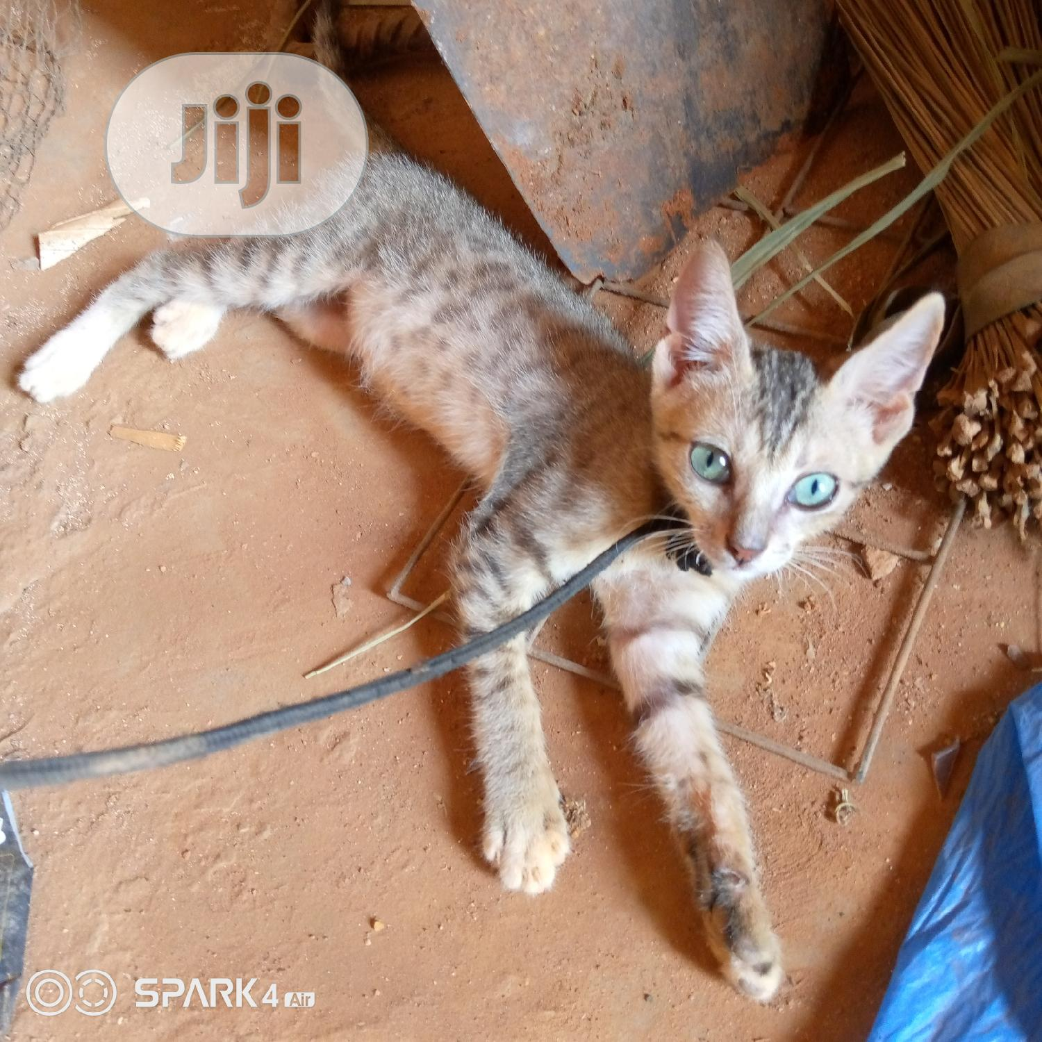 Young Male Purebred Savannah | Cats & Kittens for sale in Lagos State, Nigeria