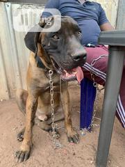 Young Male Purebred Great Dane | Dogs & Puppies for sale in Enugu State, Enugu