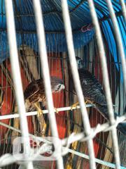 Falcon Bird For Sale | Birds for sale in Delta State, Warri