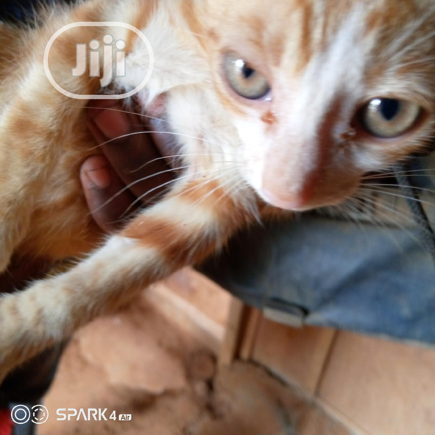 Baby Female Purebred American Curl | Cats & Kittens for sale in Ikorodu, Lagos State, Nigeria