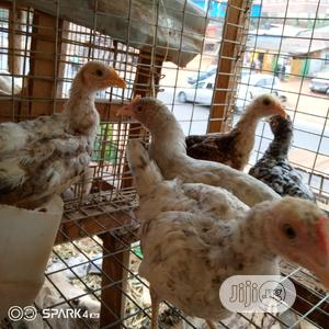 Native Chickens | Livestock & Poultry for sale in Lagos State, Ikorodu