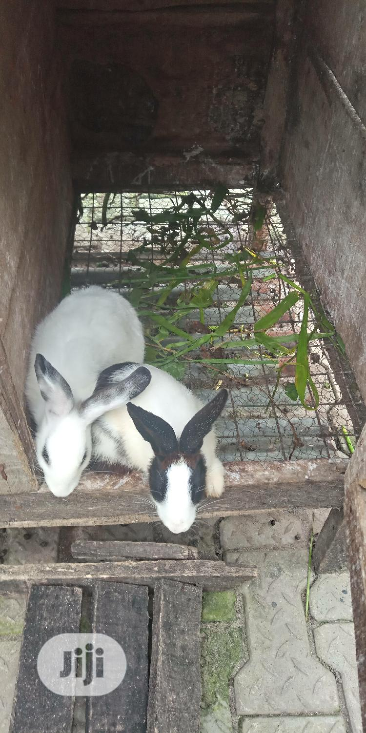 Rabbits of Different Size and Ages. | Livestock & Poultry for sale in Ajah, Lagos State, Nigeria