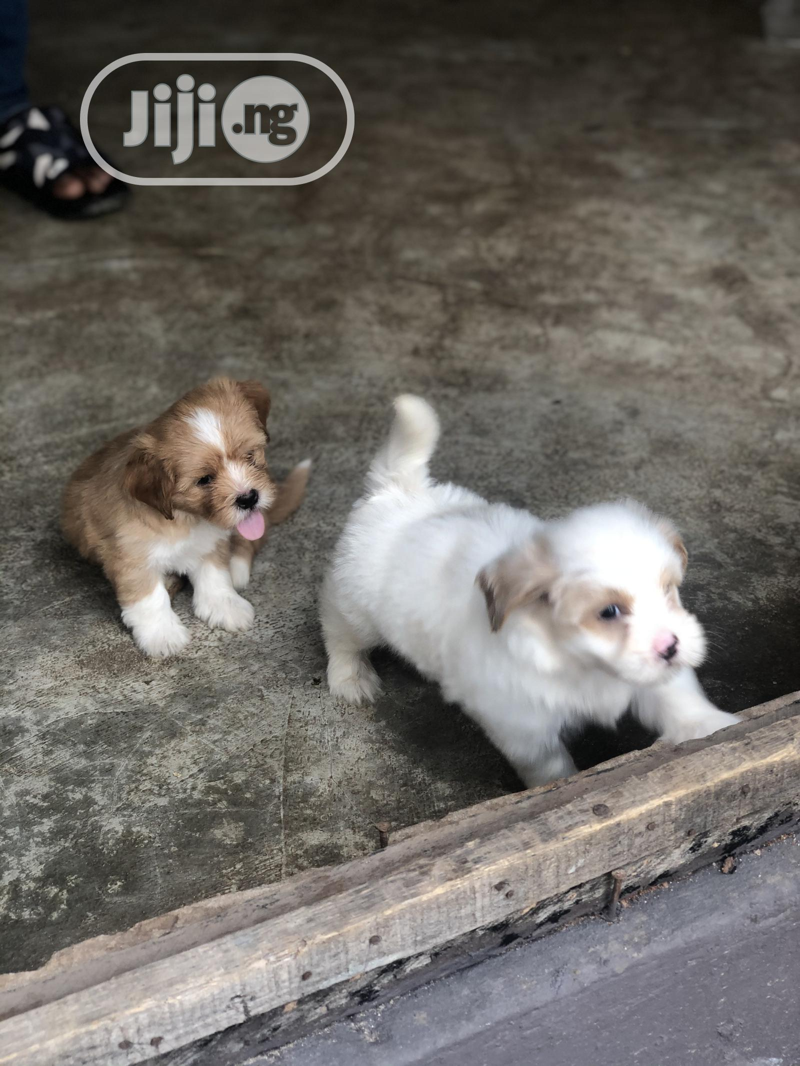 1-3 Month Male Purebred Lhasa Apso | Dogs & Puppies for sale in Benin City, Edo State, Nigeria
