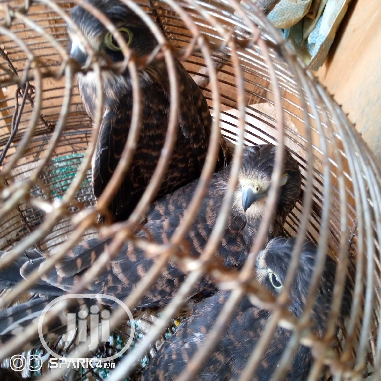 Baby Eagle | Birds for sale in Ikorodu, Lagos State, Nigeria