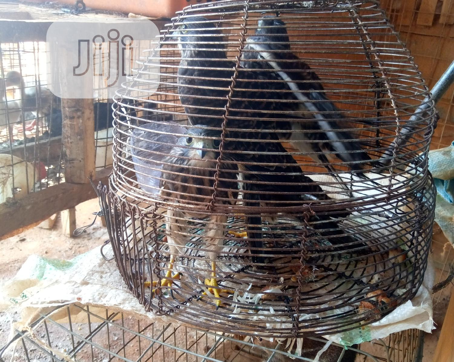 Young Falcon   Birds for sale in Ikorodu, Lagos State, Nigeria