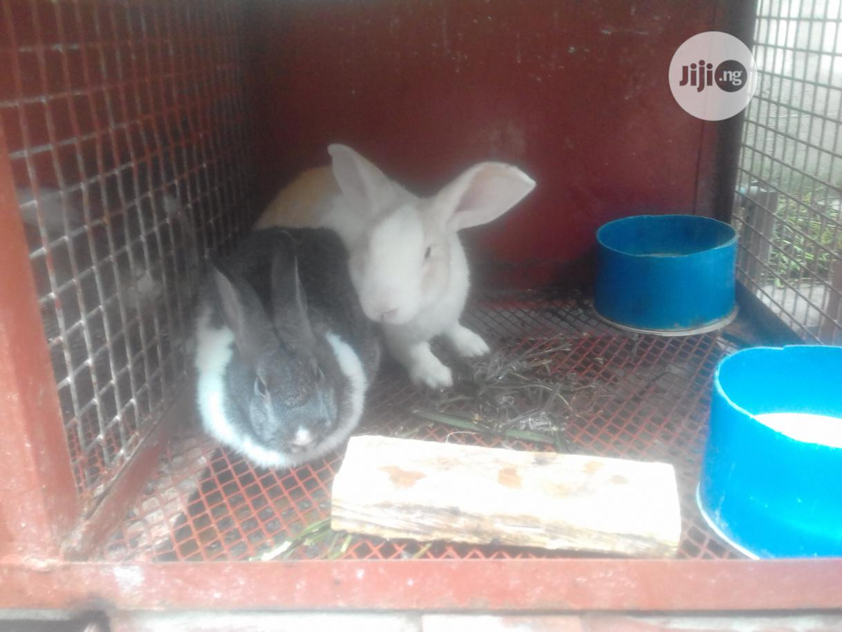 Mature Rabbits For Sale | Livestock & Poultry for sale in Ikeja, Lagos State, Nigeria