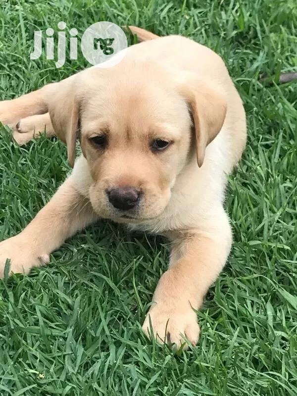 Archive: Baby Male Purebred Labrador Retriever