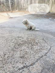 Young Male Purebred Maltese | Dogs & Puppies for sale in Abia State, Umuahia