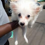 Baby Male Purebred American Eskimo   Dogs & Puppies for sale in Abuja (FCT) State, Central Business Dis