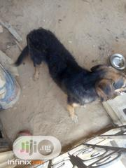 Adult Male Purebred Rottweiler | Dogs & Puppies for sale in Abia State, Aba North