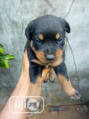 Baby Male Mixed Breed Rottweiler | Dogs & Puppies for sale in Rivers State, Port-Harcourt