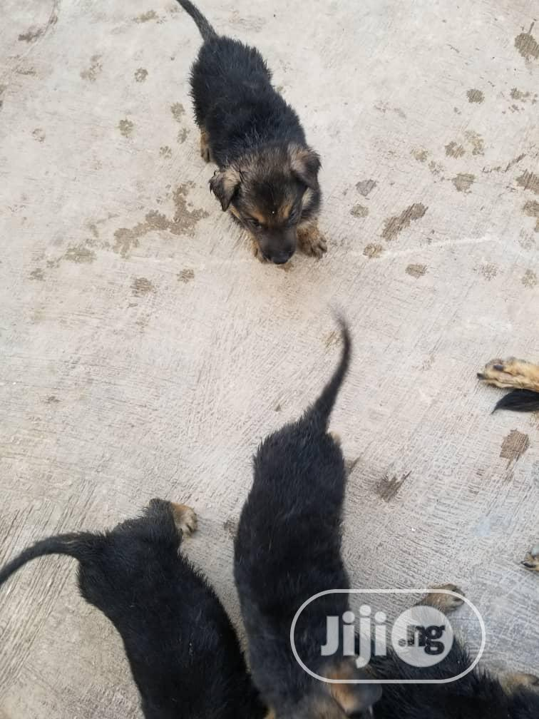 Baby Male Purebred German Shepherd Dog | Dogs & Puppies for sale in Ondo, Ondo State, Nigeria