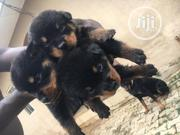 Baby Female Purebred Rottweiler   Dogs & Puppies for sale in Abuja (FCT) State, Central Business Dis