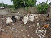 Turkey For Sale | Livestock & Poultry for sale in Lagos State, Yaba