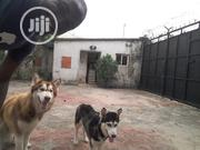 Adult Female Purebred Siberian Husky | Dogs & Puppies for sale in Rivers State, Obio-Akpor