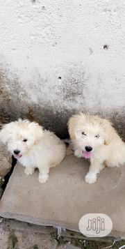 Baby Female Purebred Lhasa Apso   Dogs & Puppies for sale in Abuja (FCT) State, Central Business Dis