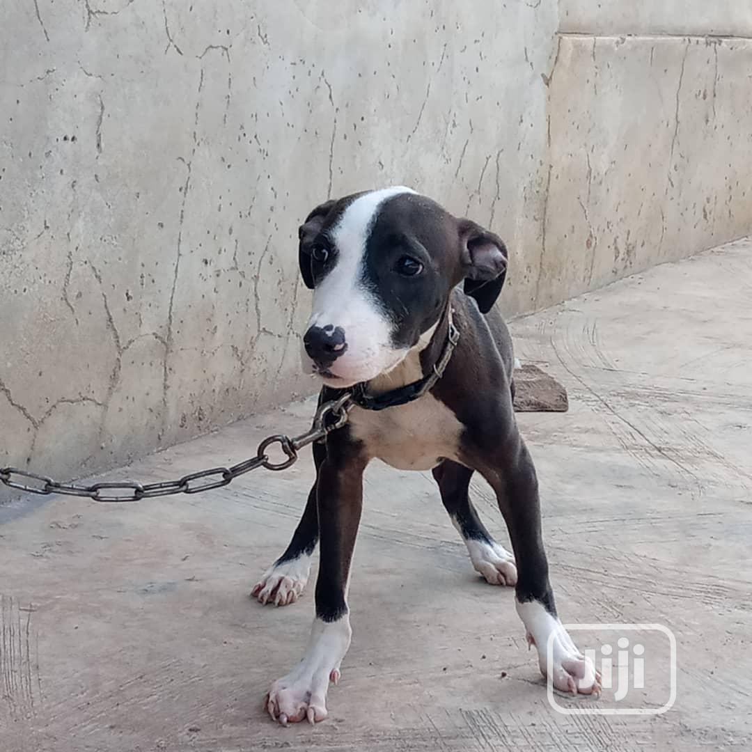 Baby Female Purebred American Pit Bull Terrier
