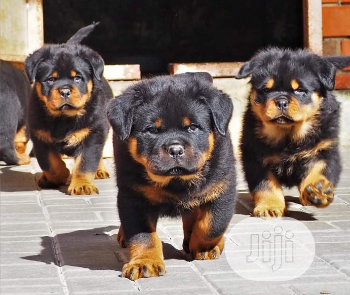 Young Male Purebred Rottweiler   Dogs & Puppies for sale in Gwarinpa, Abuja (FCT) State, Nigeria