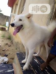 Adult Male Purebred American Eskimo Dog   Dogs & Puppies for sale in Lagos State, Ikorodu