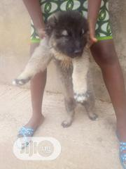Baby Male Purebred Caucasian Shepherd Dog | Dogs & Puppies for sale in Enugu State, Enugu