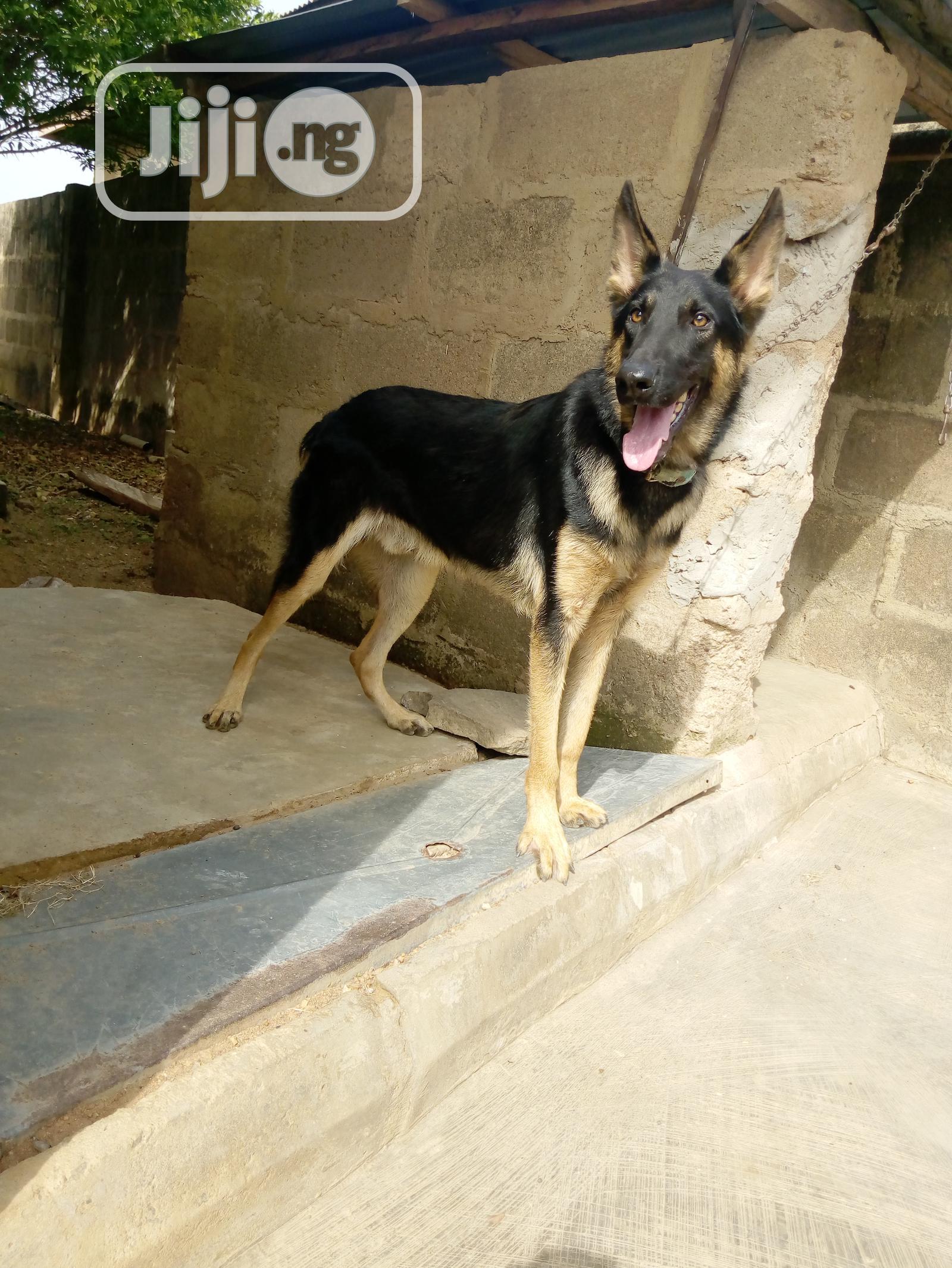Archive: Adult Male Purebred German Shepherd Dog