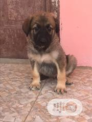 Baby Male Purebred German Shepherd | Dogs & Puppies for sale in Abia State, Umuahia