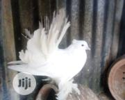Special Pigeon | Birds for sale in Katsina State, Batagarawa