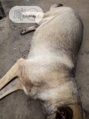 Baby Male Mixed Breed German Shepherd Dog | Dogs & Puppies for sale in Abia State, Aba North