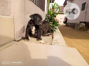 Young Female Purebred Cane Corso | Dogs & Puppies for sale in Rivers State, Obio-Akpor