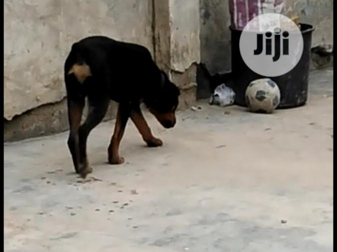 Young Male Purebred Rottweiler | Dogs & Puppies for sale in Ibadan, Oyo State, Nigeria