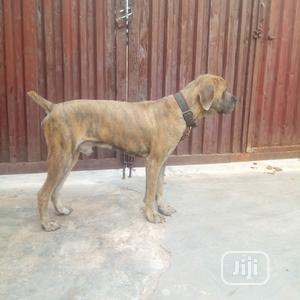 Adult Male Purebred Boerboel   Dogs & Puppies for sale in Oyo State, Ibadan