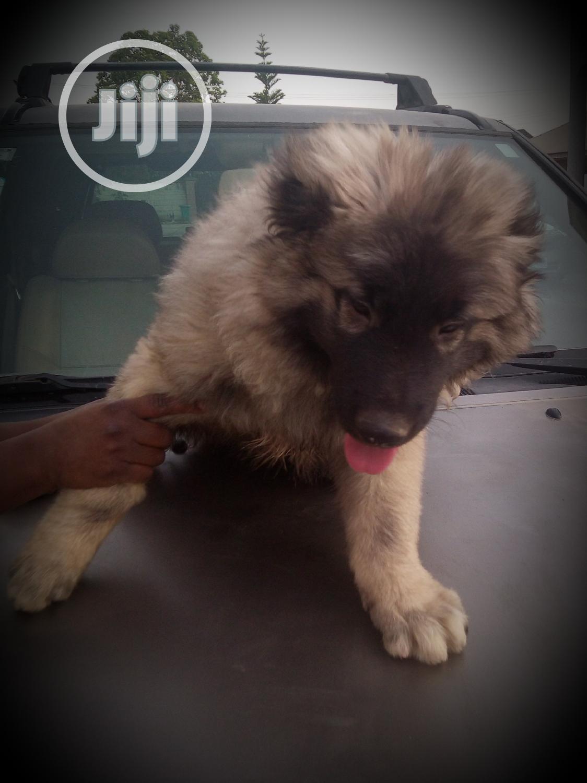 Baby Male Purebred Caucasian Shepherd Dog