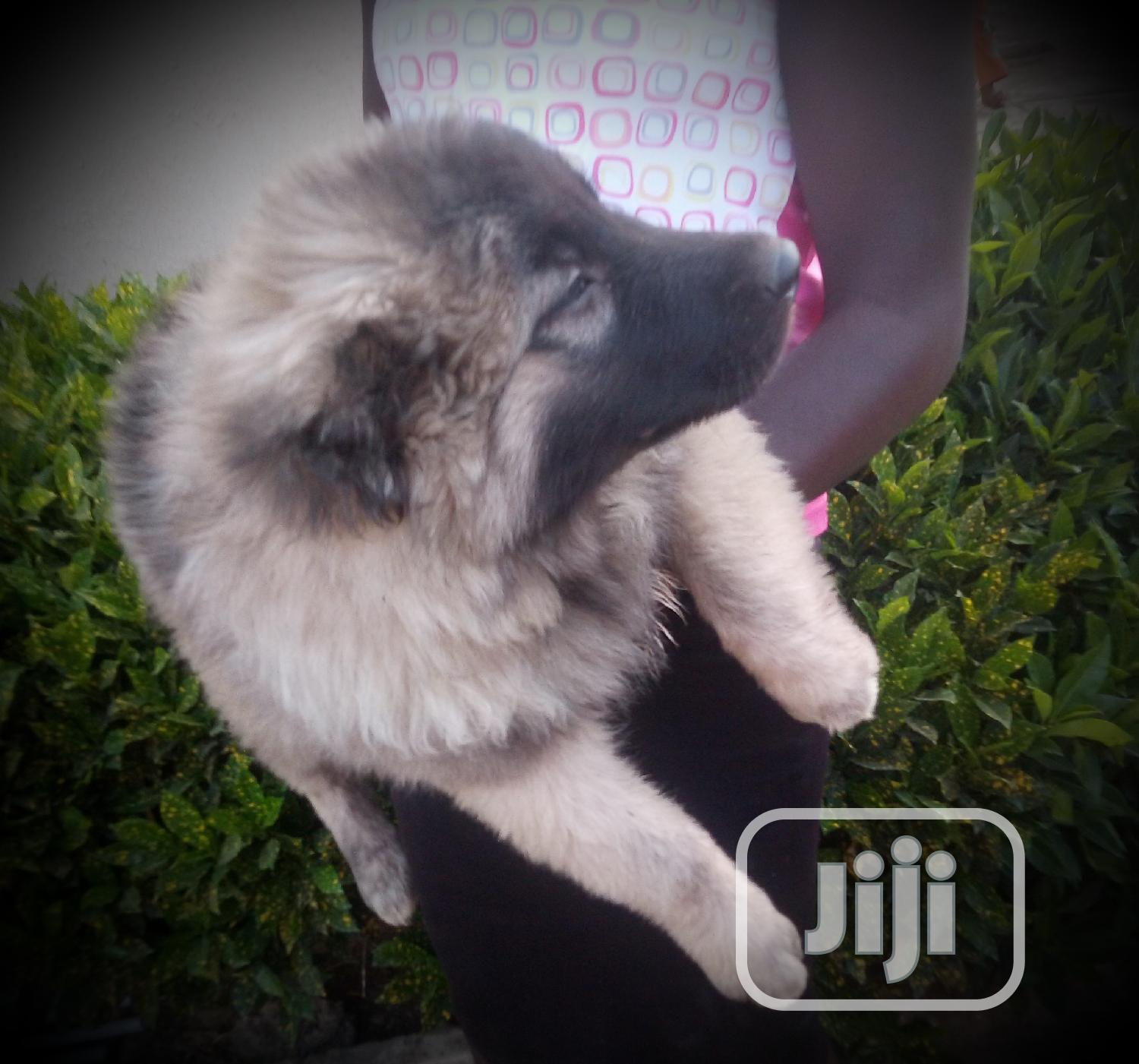 Baby Male Purebred Caucasian Shepherd Dog | Dogs & Puppies for sale in Jos, Plateau State, Nigeria