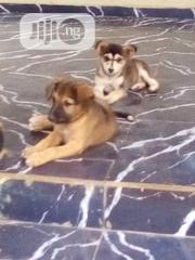 Young Female Mixed Breed Mongrel (No Breed) | Dogs & Puppies for sale in Abia State, Umuahia