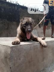 Adult Female Purebred Caucasian Shepherd Dog | Dogs & Puppies for sale in Abia State, Aba North
