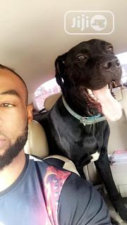 Adult Female Purebred Cane Corso   Dogs & Puppies for sale in Abuja (FCT) State, Central Business Dis