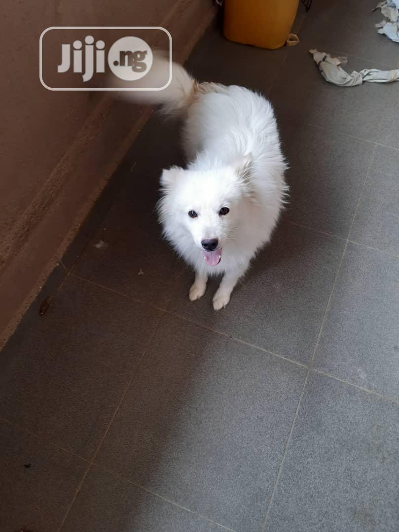 Senior Male Purebred Samoyed | Dogs & Puppies for sale in Mabushi, Abuja (FCT) State, Nigeria
