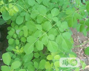 Moringa Seedling | Feeds, Supplements & Seeds for sale in Oyo State, Egbeda